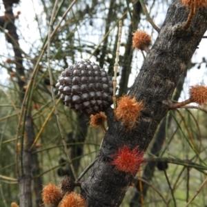 Allocasuarina verticillata (Drooping Sheoak) at Kambah, ACT by MatthewFrawley
