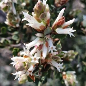 Brachyloma daphnoides at Cook, ACT - 20 Sep 2021