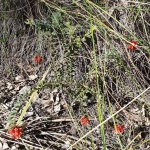 Grevillea alpina at Cook, ACT - 20 Sep 2021