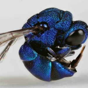 Chrysididae (family) (TBC) at suppressed by TimL