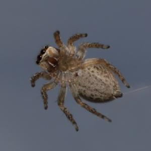 Hypoblemum griseum (Jumping spider) at Evatt, ACT by TimL