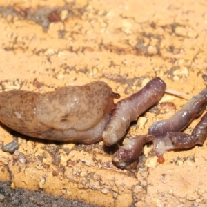Unidentified Snail or Slug (Gastropoda) (TBC) at suppressed by TimL