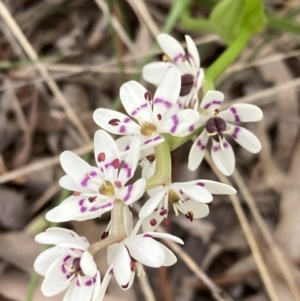Wurmbea dioica subsp. dioica (TBC) at suppressed by George