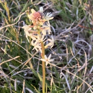 Stackhousia monogyna (Creamy Candles) at Chifley, ACT by George