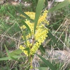 Acacia longifolia subsp. longifolia (TBC) at Aranda, ACT - 17 Sep 2021 by Ned_Johnston
