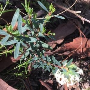 Pimelea linifolia at Downer, ACT - 20 Sep 2021