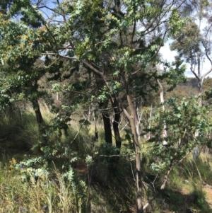 Acacia baileyana (Cootamundra Wattle, Golden Mimosa) at Downer, ACT by Ned_Johnston