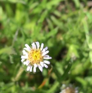 Vittadinia muelleri (Narrow-leafed New Holland Daisy) at Hackett, ACT by Ned_Johnston