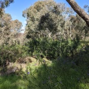 Solanum linearifolium at Hawker, ACT - 21 Sep 2021