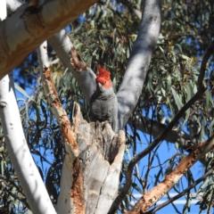 Callocephalon fimbriatum (Gang-gang Cockatoo) at Acton, ACT - 21 Sep 2021 by HelenCross