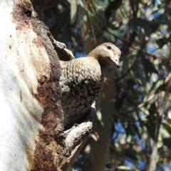 Chenonetta jubata (Australian Wood Duck) at Acton, ACT - 21 Sep 2021 by HelenCross