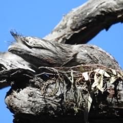 Podargus strigoides (TBC) at Acton, ACT - 22 Sep 2021 by HelenCross