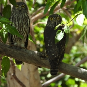Ninox connivens (Barking Owl) at Kelso, QLD by TerryS