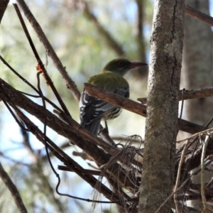 Oriolus sagittatus (Olive-backed Oriole) at Kelso, QLD by TerryS