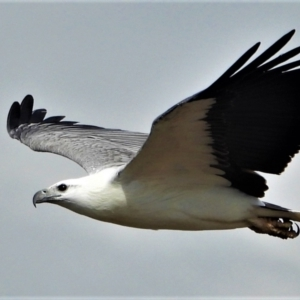 Haliaeetus leucogaster (White-bellied Sea-Eagle) at Kelso, QLD by TerryS