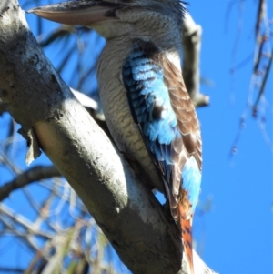 Dacelo leachii (Blue-winged Kookaburra) at Kelso, QLD by TerryS