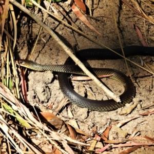 Demansia vestigiata (Black Whip Snake) at Kelso, QLD by TerryS
