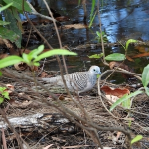 Geopelia placida (Peaceful Dove) at Kelso, QLD by TerryS