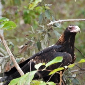 Aquila audax (Wedge-tailed Eagle) at Kelso, QLD by TerryS