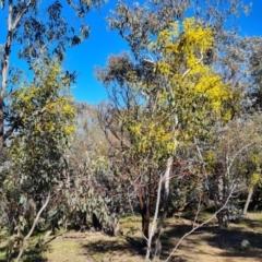 Acacia pycnantha (Golden Wattle) at Symonston, ACT - 22 Sep 2021 by Mike