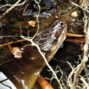 Liasis fuscus (Water Python) at suppressed by TerryS