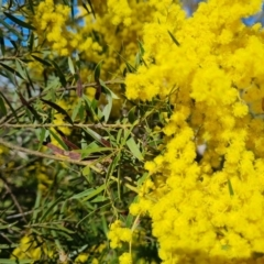 Unidentified Wattle (TBC) at Symonston, ACT - 22 Sep 2021 by Mike