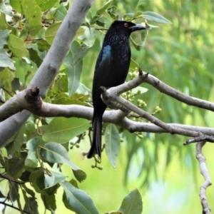 Dicrurus bracteatus (Spangled Drongo) at Kelso, QLD by TerryS