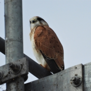 Falco cenchroides (Nankeen Kestrel) at Mount Stuart, QLD by TerryS