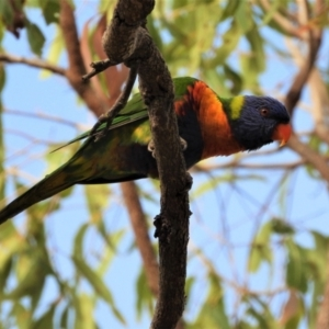 Trichoglossus moluccanus (Rainbow Lorikeet) at Kelso, QLD by TerryS
