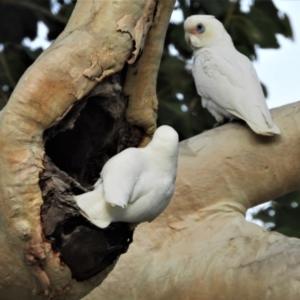Cacatua sanguinea (Little Corella) at suppressed by TerryS