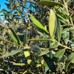Olea europaea subsp. cuspidata (African Olive) at Symonston, ACT - 22 Sep 2021 by Mike