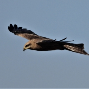 Milvus migrans (Black Kite) at Kelso, QLD by TerryS