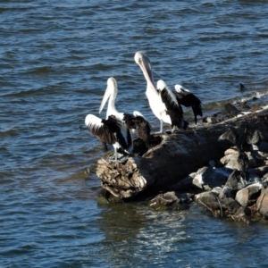Pelecanus conspicillatus (Australian Pelican) at Kelso, QLD by TerryS