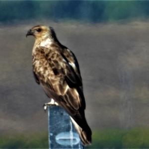 Haliastur sphenurus (Whistling Kite) at Kelso, QLD by TerryS