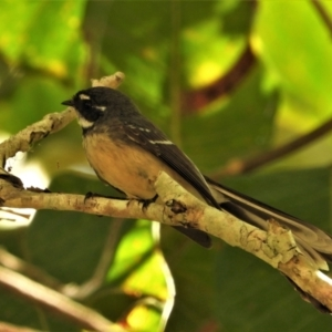 Rhipidura albiscapa (Grey Fantail) at Kelso, QLD by TerryS