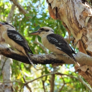 Dacelo novaeguineae (Laughing Kookaburra) at Kelso, QLD by TerryS