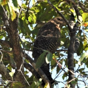 Centropus phasianinus (Pheasant Coucal) at Kelso, QLD by TerryS