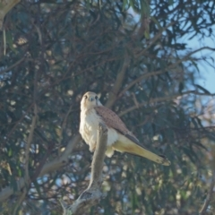 Falco cenchroides (Nankeen Kestrel) at Holt, ACT - 22 Sep 2021 by wombey