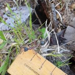 Myrmecia nigriceps (Black-headed bull ant) at Kaleen, ACT - 22 Sep 2021 by Rixon