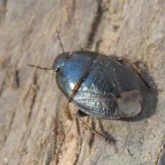 Adrisa sp. (genus) (Burrowing Bug) at Fraser, ACT - 22 Sep 2021 by Christine