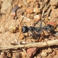 Myrmecia sp., pilosula-group (Jack jumper) at Fraser, ACT - 22 Sep 2021 by Christine