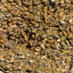 Apis mellifera (European honey bee) at Fraser, ACT - 22 Sep 2021 by Christine
