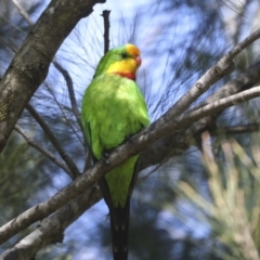 Polytelis swainsonii (Superb Parrot) at Hawker, ACT - 22 Sep 2021 by AlisonMilton