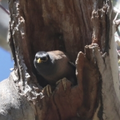 Acridotheres tristis (Common Myna) at Hawker, ACT - 22 Sep 2021 by AlisonMilton
