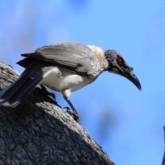 Philemon corniculatus (Noisy Friarbird) at Isabella Plains, ACT - 22 Sep 2021 by RodDeb