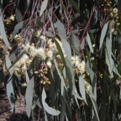 Eucalyptus bridgesiana (Apple Box) at Hawker, ACT - 15 Sep 2021 by pinnaCLE