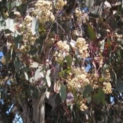 Eucalyptus polyanthemos (Red Box) at Hawker, ACT - 15 Sep 2021 by pinnaCLE