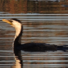 Microcarbo melanoleucos (Little Pied Cormorant) at Conder, ACT - 17 Sep 2021 by michaelb