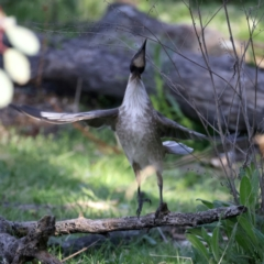 Philemon corniculatus (Noisy Friarbird) at Majura, ACT - 20 Sep 2021 by jbromilow50