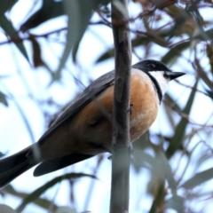 Pachycephala rufiventris (Rufous Whistler) at Majura, ACT - 20 Sep 2021 by jbromilow50